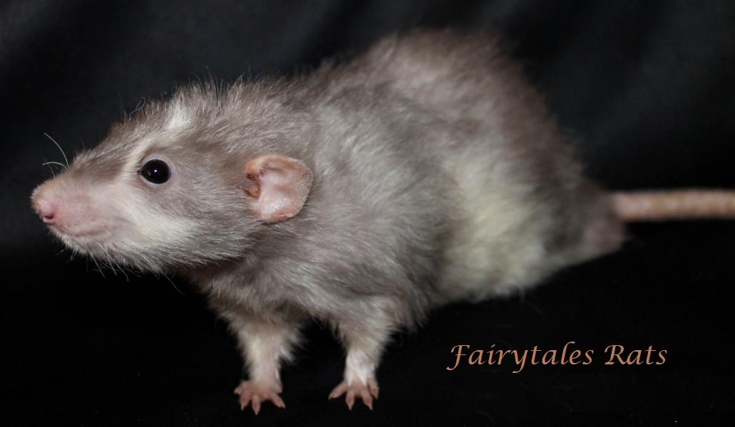 Harley Angora Langhaar Ratte