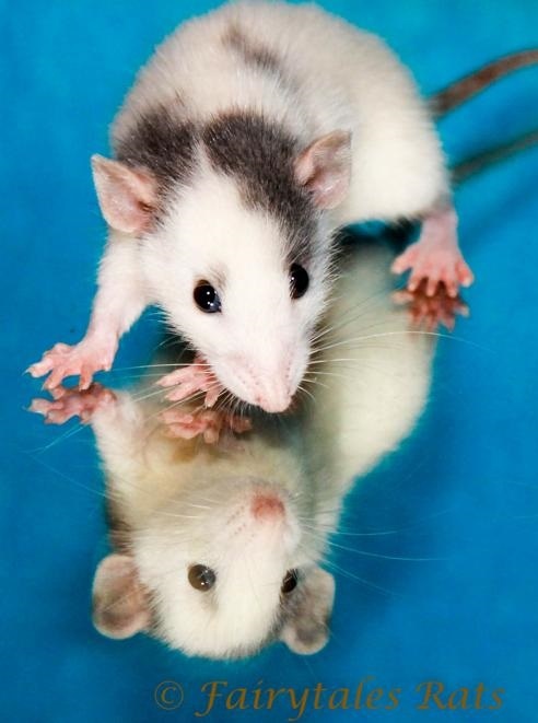 Ratten Baby