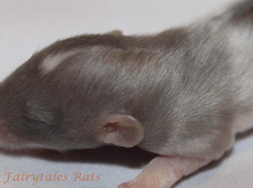 Harley Angora Langhaar Ratte Baby