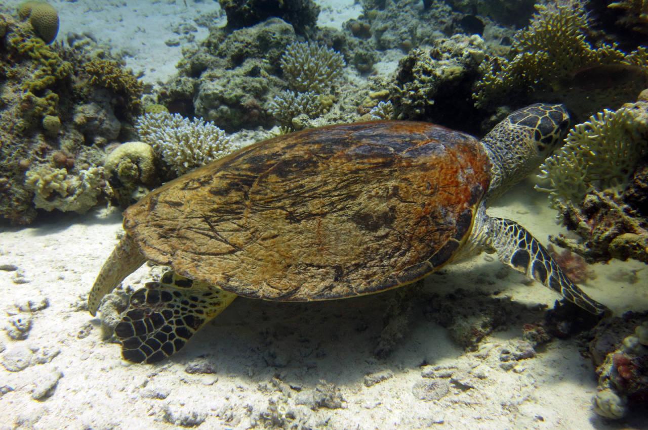 Schildkröte in Hurghada