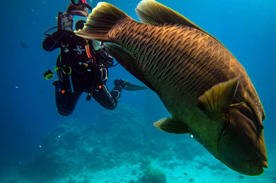 Fotograf mit Napoleon Fisch in Hurghada
