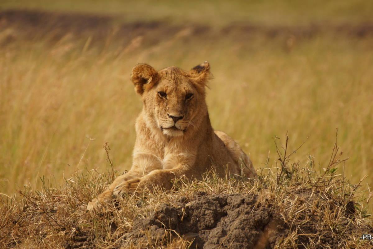 Klasse, dass die Raubkatzen, hier eine Löwin, die Hügel lieben.