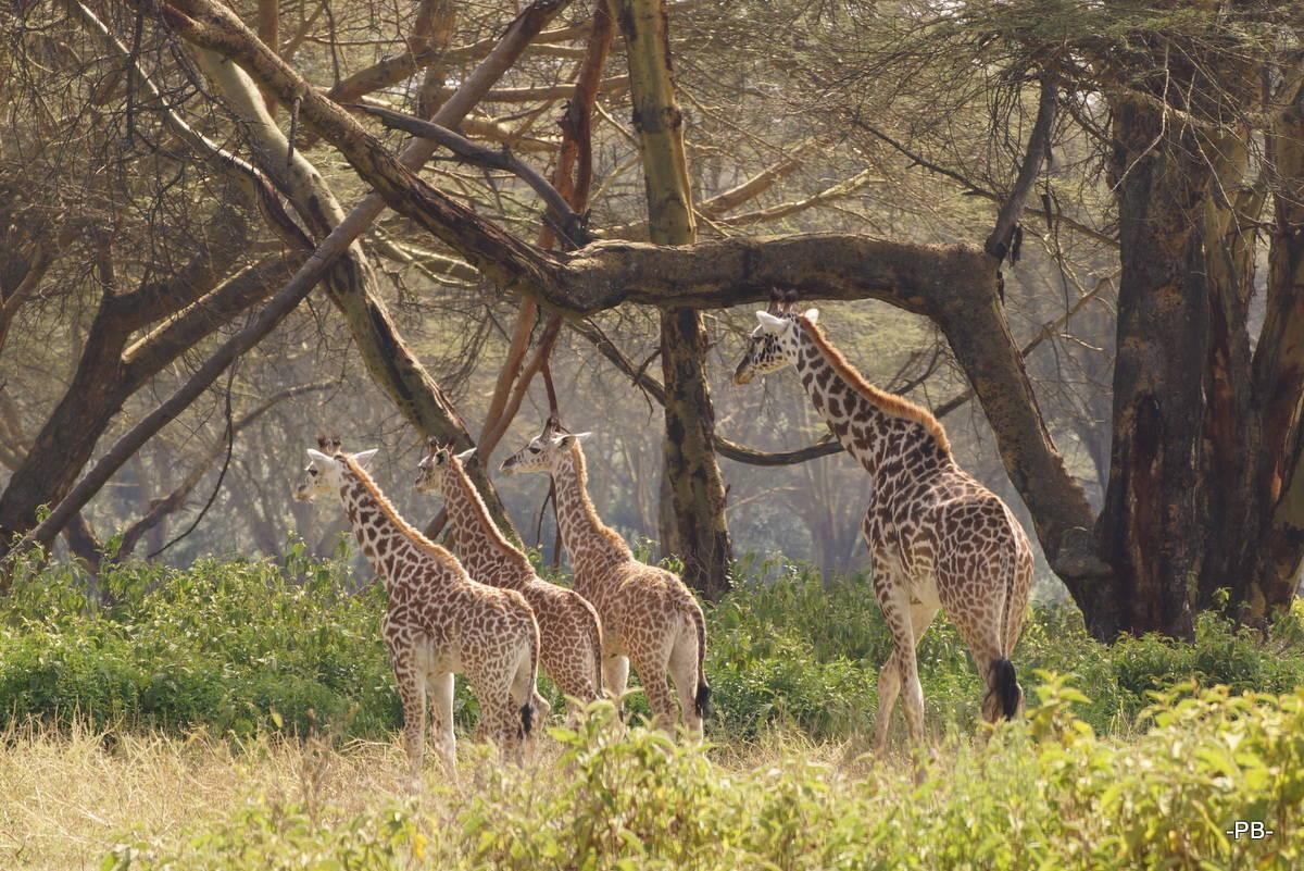 Giraffenmama mit Nachwuchs