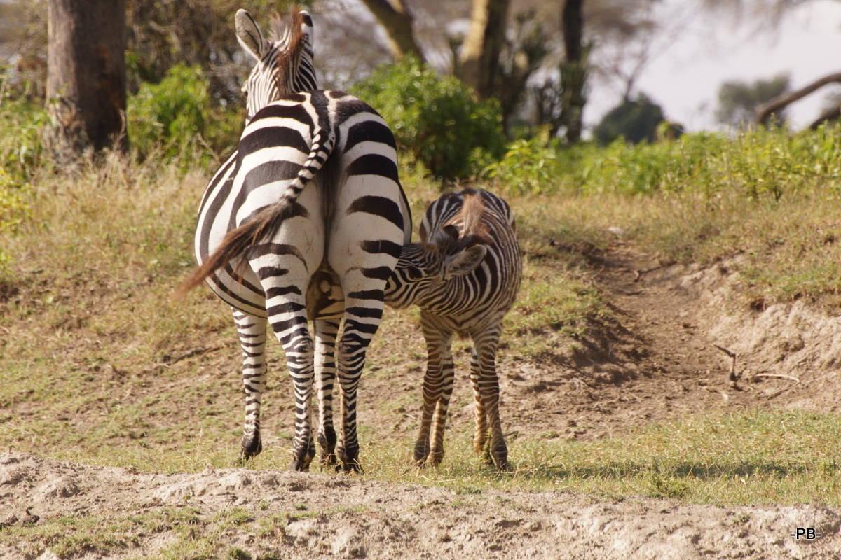 Zebra mit Nachwuchs