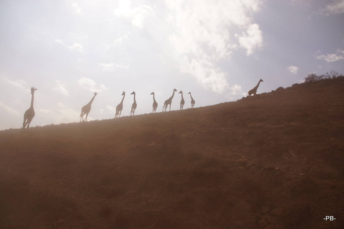 Giraffen am Kraterrand des Ngorongoro