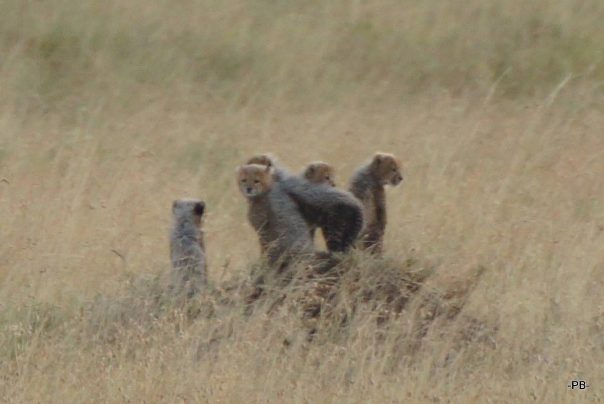 Gepardenbabys