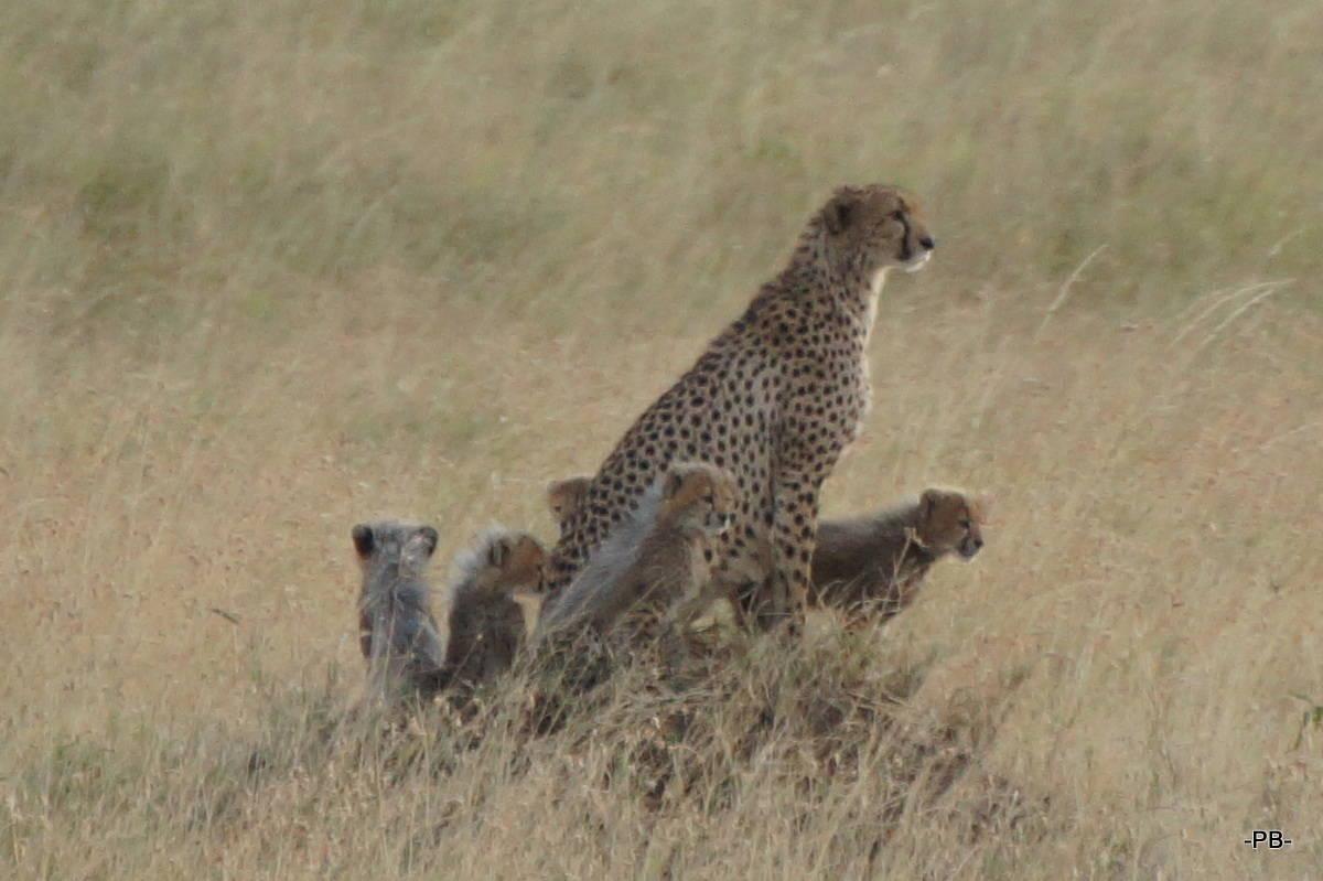 Geparden-Mama mit ihren fünf Kleinen