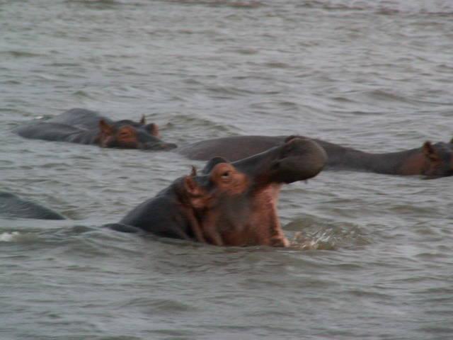Flusspferde im St. Lucia Wetland N.P.