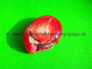 Koralle-Rot - Foto der Berliner Bruderschaft Herzberg
