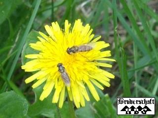 Bienen - anthophila; Foto der Bruderschaft Herzberg