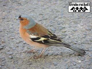 Buchfink - fringilla coelebs; Foto der Bruderschaft Herzberg
