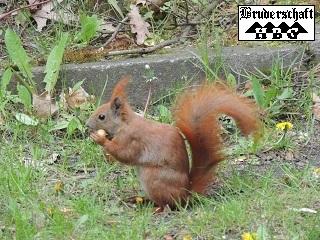Eichhörnchen - sciurus vulgaris; Foto der Bruderschaft Herzberg