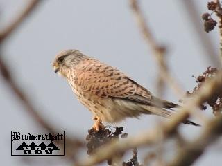 Falke - falco; Foto der Bruderschaft Herzberg