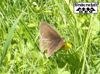 Falter und Schmetterlinge - lepidoptera; Foto der Bruderschaft Herzberg