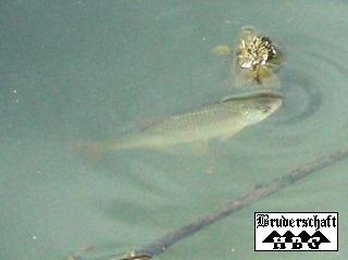 Fisch - ichthys; Foto der Bruderschaft Herzberg