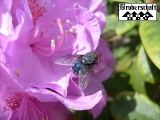 Fliege - brachycera; Foto der Bruderschaft Herzberg