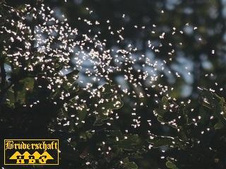 Fliegen - brachycera; Foto der Bruderschaft Herzberg