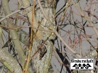 Gartenbaumläufer - certhia brachydactyla; Foto der Bruderschaft Herzberg