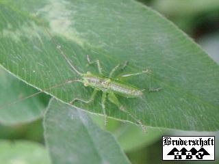 Grashüpfer - gomphocerinae; Foto der Bruderschaft Herzberg