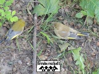 Grünfink oder Grünling - carduelis chloris; Foto der Bruderschaft Herzberg