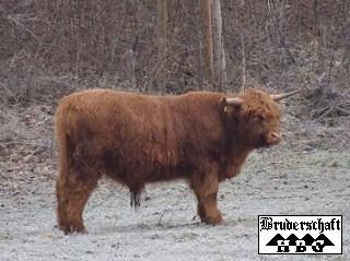 Highlandbulle; Foto der Bruderschaft Herzberg