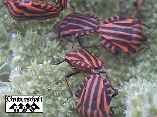 Käfer; Foto der Bruderschaft Herzberg