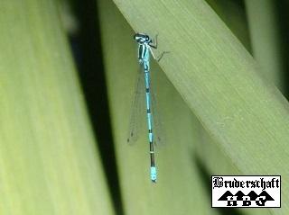 Libelle - odonata; Foto der Bruderschaft Herzberg