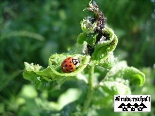 Marienkäfer - coccinellidae; Foto der Bruderschaft Herzberg