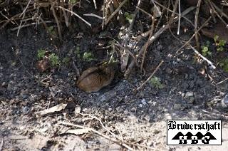 Maus - mus; Foto der Bruderschaft Herzberg