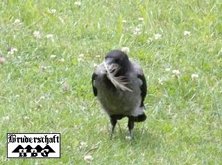 Raben und Krähen - corvus; Foto der Bruderschaft Herzberg