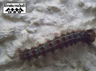 erucae und vermis - Raupen und Würmer; Foto der Bruderschaft Herzberg