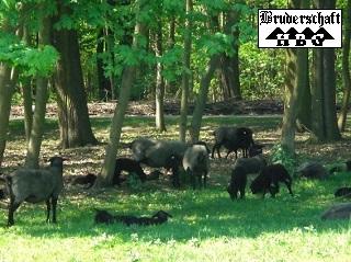 rauwollige Pommersche Landschaf; Foto der Bruderschaft Herzberg