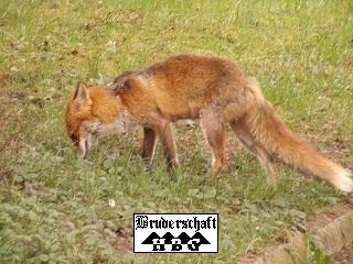 Rotfuchs - vulpes vulpes; Foto der Bruderschaft Herzberg