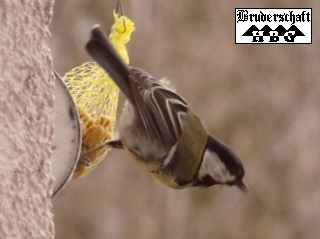 Waldlaubsänger - phylloscopus sibilatrix; Foto der Bruderschaft Herzberg