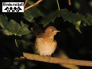 Zaunkönig - troglodytes troglodytes; Foto der Bruderschaft Herzberg