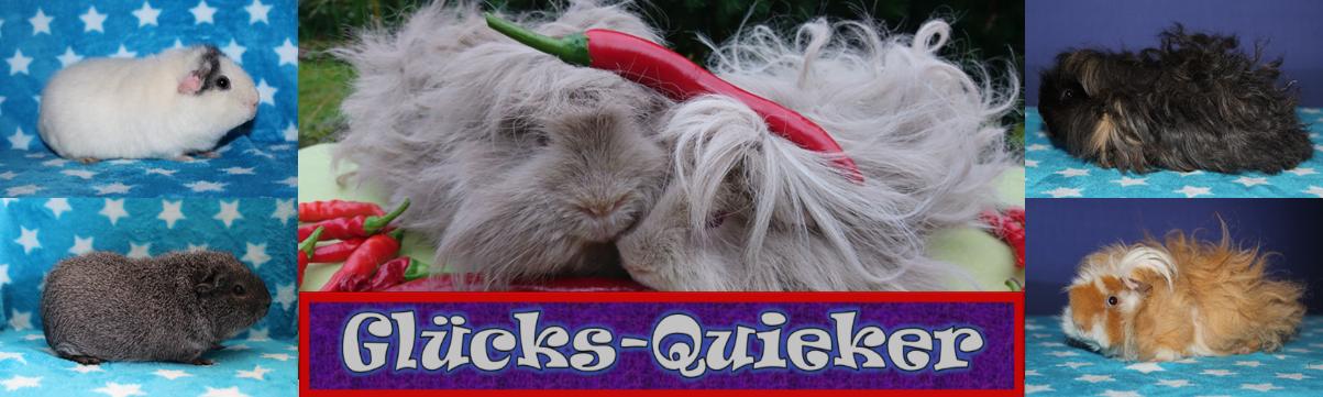 Meerschweinchenzucht Glücks-Quieker, Lunkarya, US-Teddy, Slateblue, Silberagouti, Rot-Weiß, Vollfarbe