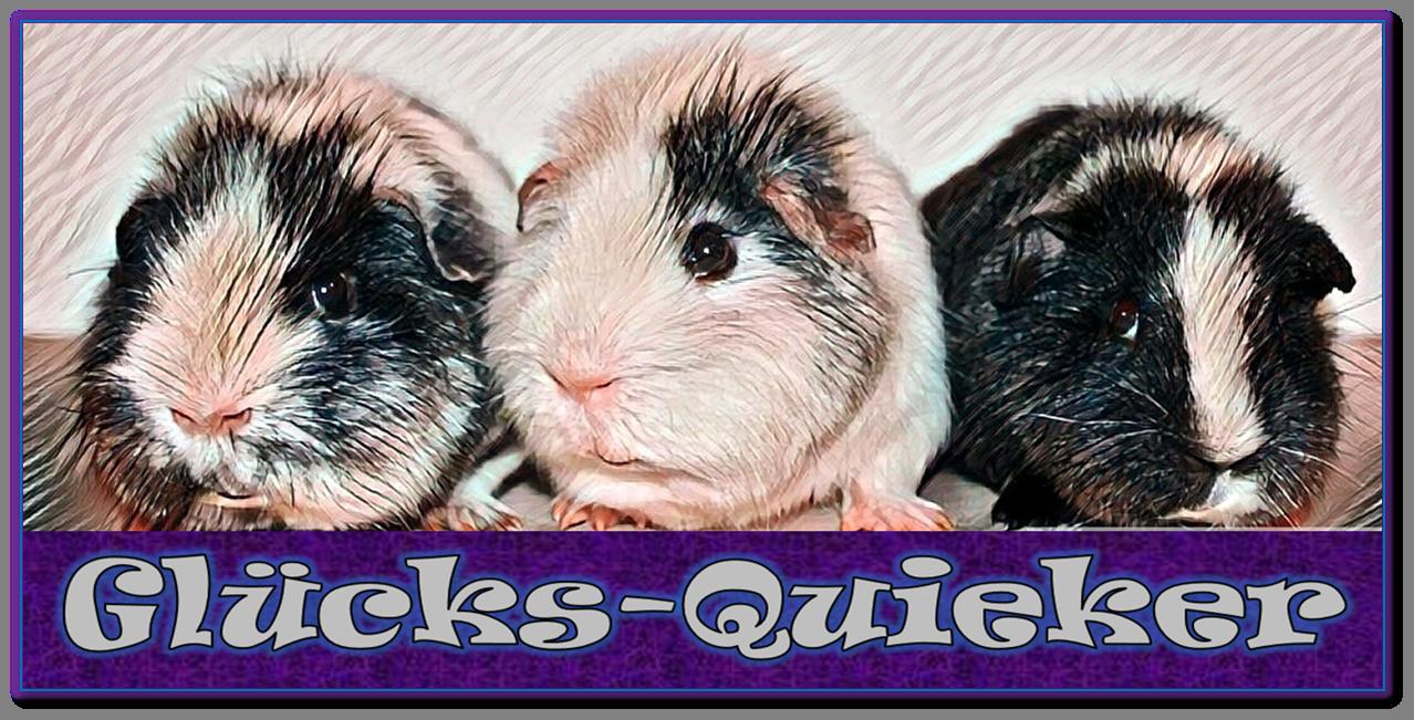 Glücks-Quieker, US-Teddy Meerschweinchen Zucht, Meerschweinchenzucht, Solid, Silberagouti, Agouti